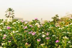 Roseus do Catharanthus Foto de Stock Royalty Free