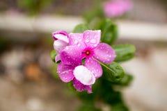 Roseus do Catharanthus Imagens de Stock