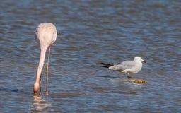 Roseus van flamingophoenicopterus royalty-vrije stock afbeeldingen