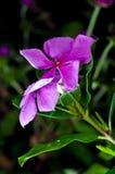 Roseus viola del Catharanthus (chiocciola di scogliera del Madagascar) Fotografia Stock