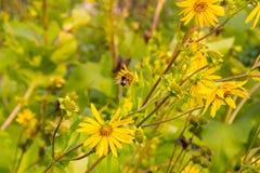 Roseweeds y abejorro Fotografía de archivo