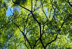 Rosewood or Tipuana tipu. Looking up to the sky of Rosewood and Tipuana tipu tree. Tipuana tipu, also known as tipa, rosewood and pride of Bolivia, is a South royalty free stock images