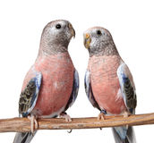 Rosey Bourke Parakeets Stock Images