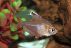 Rosey Tetra aletado blanco en un acuario Imagen de archivo libre de regalías