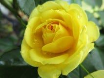 1 roseyellow Arkivbild