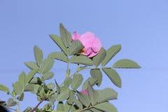 Roshöfterna som blommas med rosa blommor arkivfoto