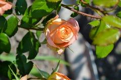 rosie zdjęcie royalty free
