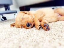 Rosie el perro perdiguero Imágenes de archivo libres de regalías