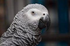 Rosie il grey africano Fotografie Stock Libere da Diritti
