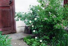 Rosier avec les fleurs blanches Images stock
