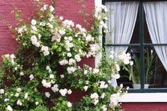 Rosier blanc en fleur Photographie stock libre de droits