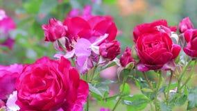 Rosier rose lumineux banque de vidéos