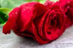 Rosier rouge Image libre de droits