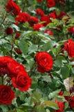 Rosier, rouge Image stock