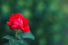 Rosier rouge Photographie stock libre de droits