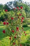 Rosier s'élevant en fleur photo stock