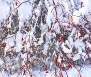 Rosier sauvage avec les baies rouges couvertes de neige Photographie stock