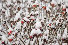 Rosiers sauvages avec le fruit dans la neige photos libres de droits