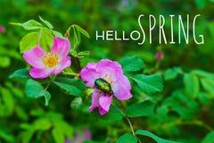 Rosiers sauvages de floraison photographie stock