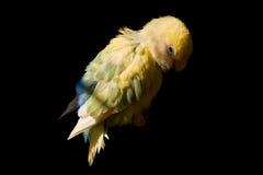 Rosig-gegenübergestellter Lovebird Lizenzfreies Stockbild