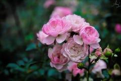 Rosiga rosor Fotografering för Bildbyråer