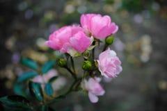 Rosiga rosor Royaltyfria Bilder