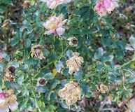 Rosiga torra rosor royaltyfri foto