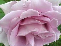 Rosigt steg Royaltyfri Foto
