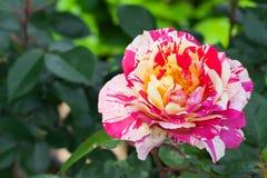 Rosita rose Stock Photo