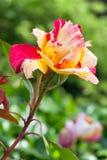 Rosita rose Stock Photos