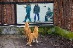 ROSJA KALININGRAD, KWIECIEŃ, - 25, 2017: Lwy patrzeje ludzi przez okno w zoo Fotografia Stock