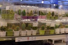 Rosja, St Petersburg, 15,03,2015 Puszkujących rośliien dla sprzedaży w Fotografia Stock