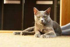rosjanin niebieski kocie Zdjęcia Royalty Free