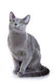 rosjanin niebieski kocie Zdjęcie Royalty Free