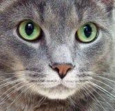 rosjanin niebieski kocie Obraz Royalty Free