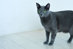 Rosjanina błękitnego kota nieśmiała pozycja Fotografia Royalty Free
