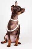 Rosjanina zabawkarski szczeniak Zdjęcie Stock