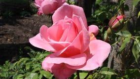 Roslana. The rose was filmed in Bulgaria Yambol stock video