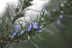 Rosmarin in der Blüte Lizenzfreie Stockfotografie