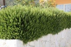 Rosmarin i en medelhavs- trädgård Royaltyfri Fotografi