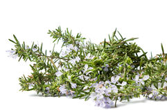 Rosmarin planterar i blomning på vit royaltyfri foto