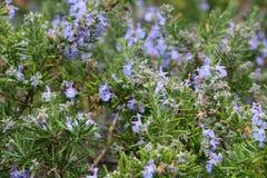 Rosmarin planterar i en trädgård Arkivbilder