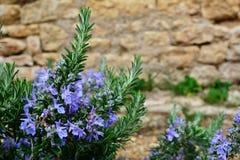 Rosmarini con i fiori blu Immagine Stock