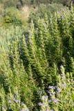 Rosmarini naturali e verdi con i fiori Fotografia Stock