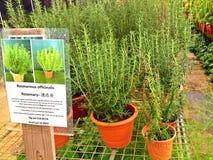 Rosmarini - piante in vaso Fotografia Stock