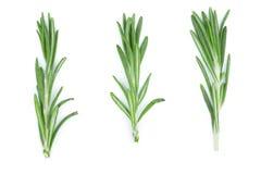 Rosmarini verdi freschi isolati su un fondo bianco Vista superiore Disposizione piana Fotografia Stock