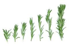 Rosmarini verdi freschi su un fondo bianco con lo spazio della copia per il vostro testo Vista superiore Disposizione piana Fotografia Stock