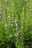 Rosmarinus officinalis. The blossoming plant in the summer afternoon Royalty Free Stock Image