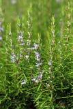 Rosmarinus officinalis Royalty Free Stock Image
