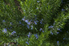 Rosmarinus officinalis or commonly known as rosemary. Fresh rosemary flowers and needle-like leaves in the garden, in a glorious beautiful morning. Rosemary is a royalty free stock photography